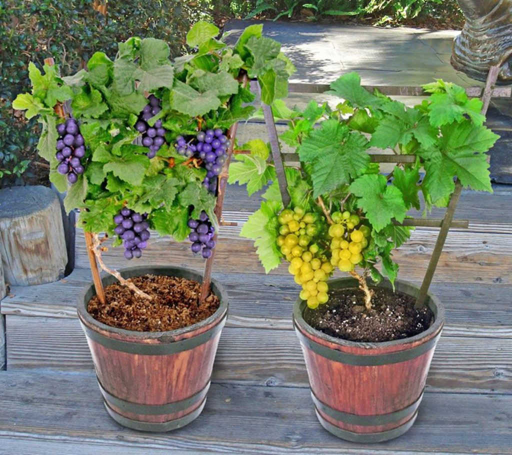 Deset plodonosnih biljaka koje možete gajiti na terasi GROZDJEE