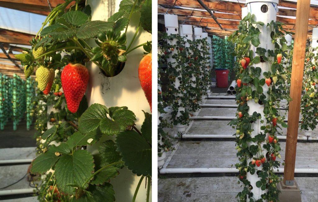 Deset plodonosnih biljaka koje možete gajiti na terasi JAGODE
