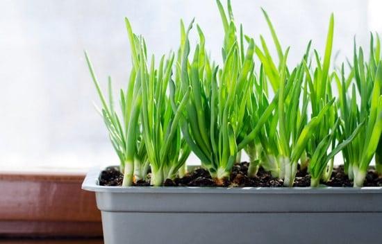 Deset plodonosnih biljaka koje možete gajiti na terasi MLADI LUK