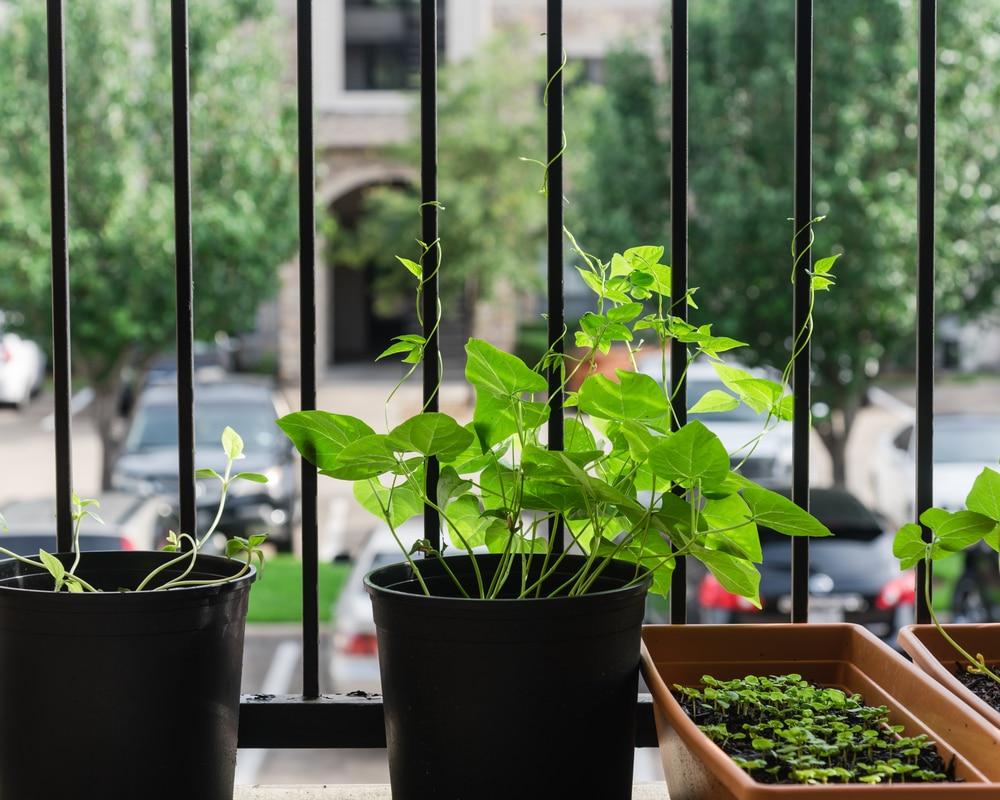 Deset plodonosnih biljaka koje možete gajiti na terasi PASULJ