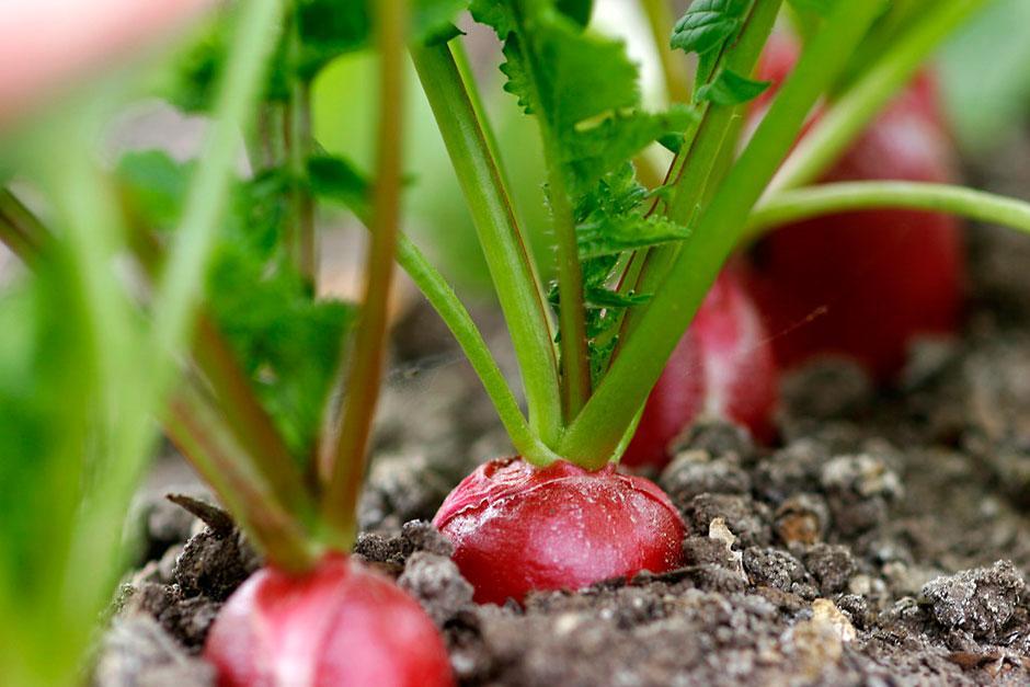 Deset plodonosnih biljaka koje možete gajiti na terasi ROTKVICE