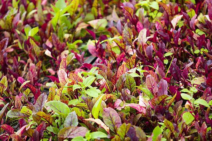 Deset plodonosnih biljaka koje možete gajiti na terasi paradajz CVEKLA